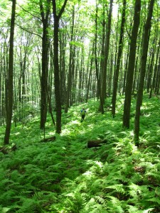 walking in ferns (768x1024)